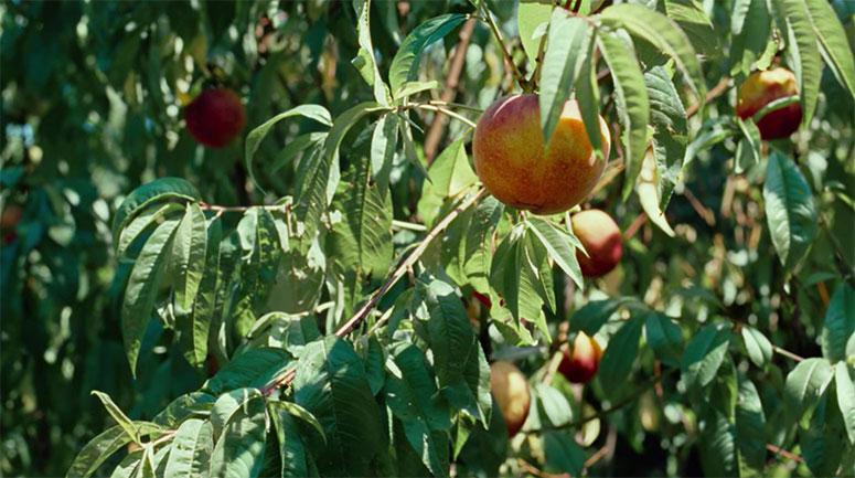 Loquet Loves ripe